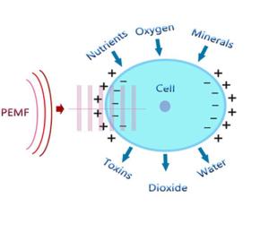 magnet celija