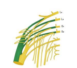 koreni zajednickog peronealnog nerva