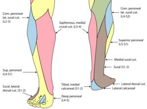 peroneus superficialis dermatomi